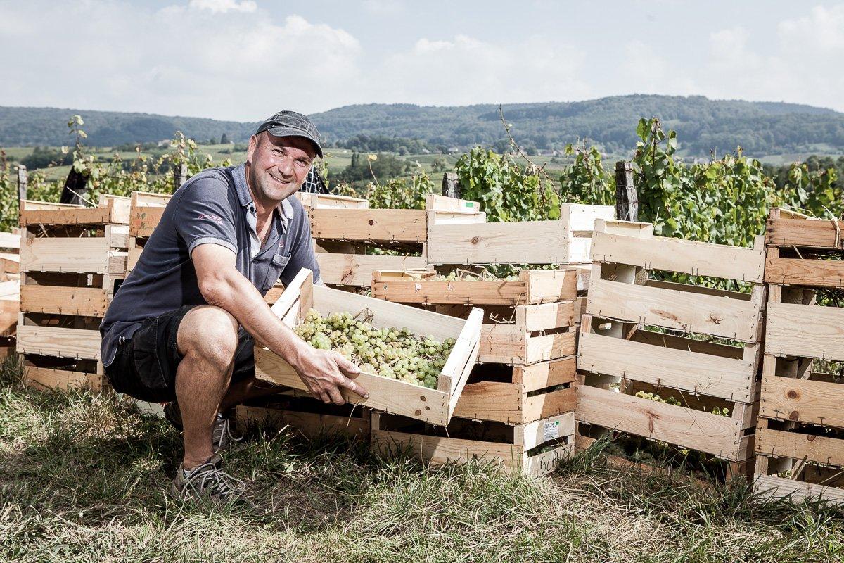 Portrait du vigneron Stéphane Tissot devant la récolte en cagette du raison pour le vin jaune