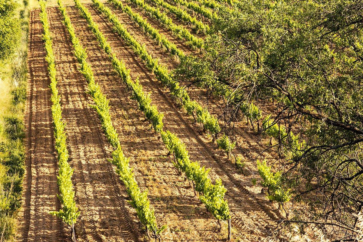 Paysage de vignes dans le domaine Pey Blanc à Aix-en-Provence