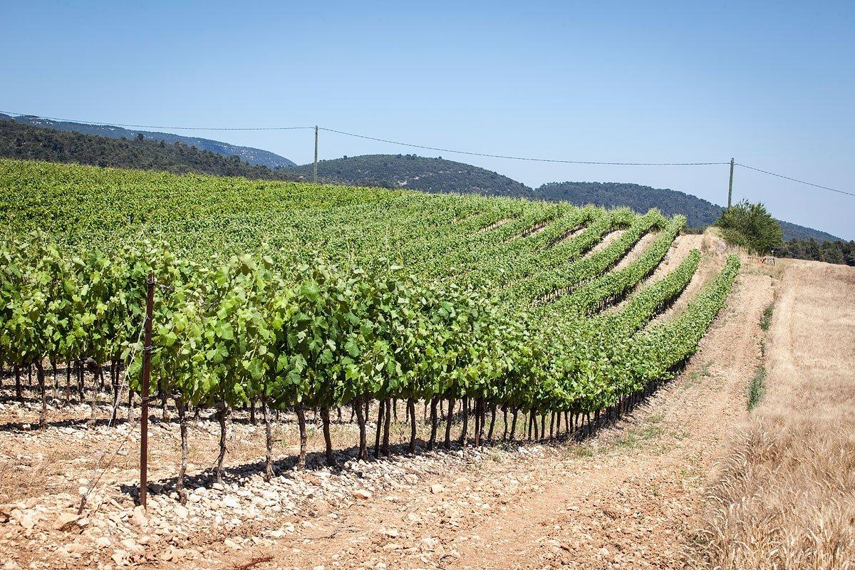 Paysage de vigne dans le Luberon