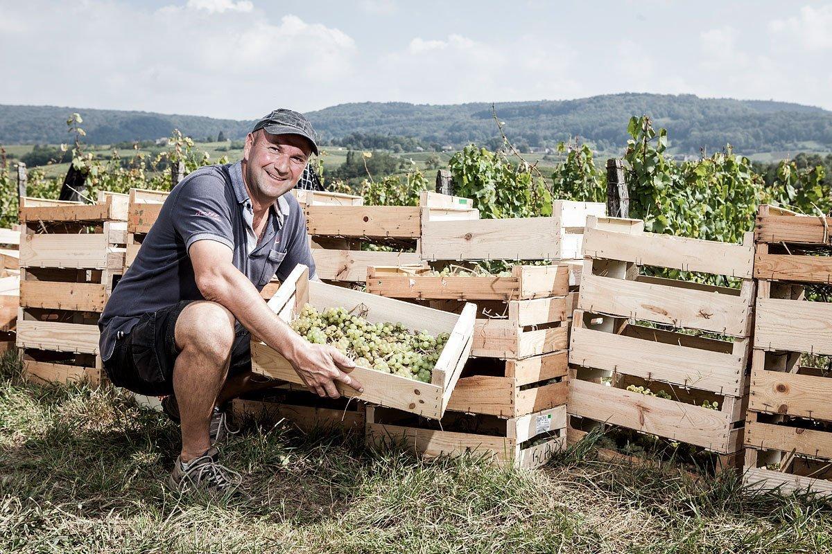 Portrait du vigneron Stéphane Tissot pendant la récolte du raisin en cagette pour la vinification du vin jaune