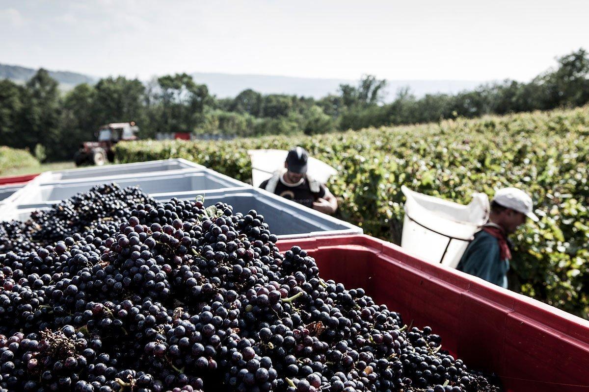 Reportage durant les vendanges dans les vignobles Tissot dans le Jura